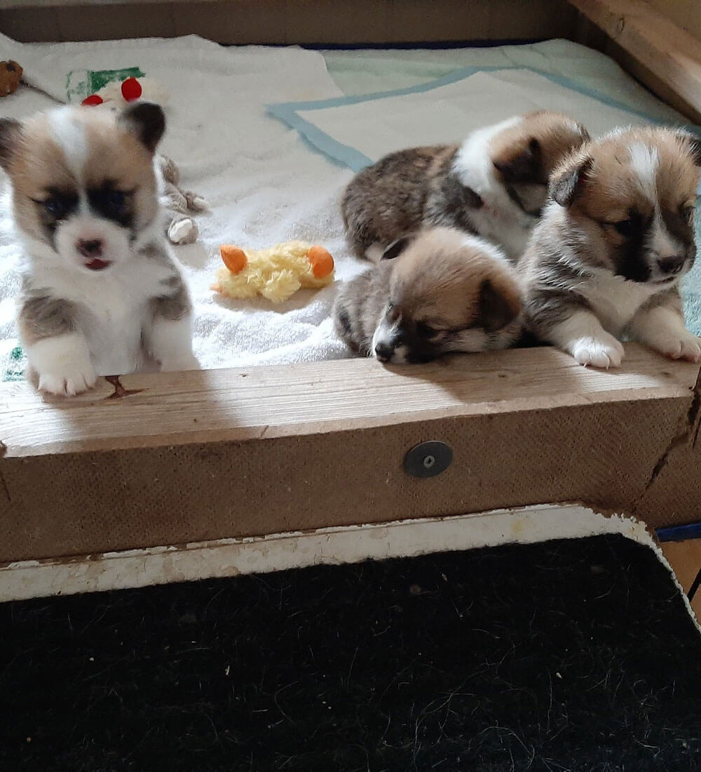 Corgi puppies for sale, Bison Ridge Corgis