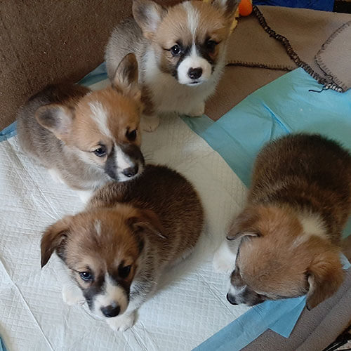 corgi puppies for adoption, Bison Ridge Corgis