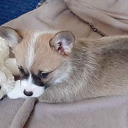 corgi puppies for sale colorado, Bison Ridge Corgis