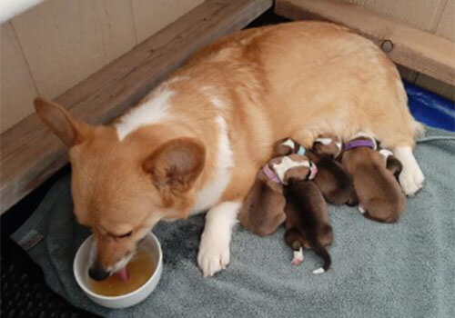 pembroke welsh corgi puppies colorado, Bison Ridge Corgis