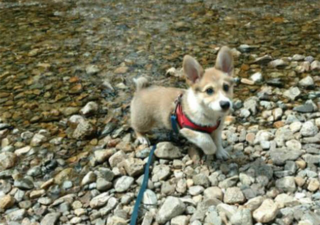 pembroke welsh corgi puppies for sale, Bison Ridge Corgis