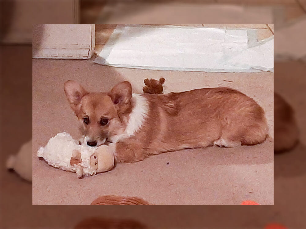 corgi puppies for sale colorado-Bison Ridge Corgis-Pixie